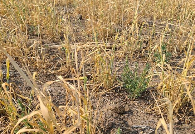 Des cultures à sec témoignent de la sécheresse qui frappe l'Ouest canadien. Photo : Jeremy Welter