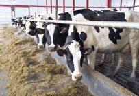 Des études démontrent que les vaches dont l'alimentation est plus riche en fibres – notamment en fourrage – ont tendance à produire du lait dont le niveau de vitamines B12 est plus élevé. Photo : Martin Ménard/Archives TCN