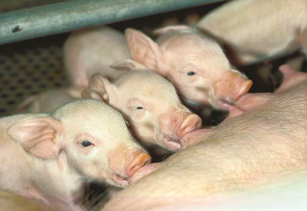 Les porcelets continuent de naître et d'être sevrés, mais les places dans les bâtiments d'élevage sont encombrées par les nombreux porcs qui ne peuvent plus être livrés.