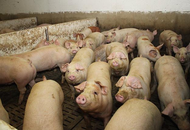 Le conflit de travail a des répercussions énormes pour les éleveurs de porcs, qui craignent de devoir euthanasier des bêtes par manque d'espace dans leurs bâtiments. Photo : Archives/TCN