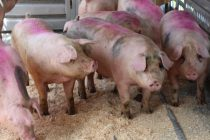 L'Association des vétérinaires en industrie animale estime que le conflit de travail à l'usine d'abattage d'Olymel à Vallée-Jonction entraîne des répercussions qui dépassent l'entendement sur le plan de la santé et du bien-être animal. Archives / TCN