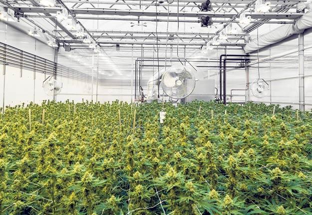 L'entreprise 5 points cannabis a récemment obtenu sa licence pour transformer et vendre sa production. Photo : Gracieuseté de 5 points cannabis