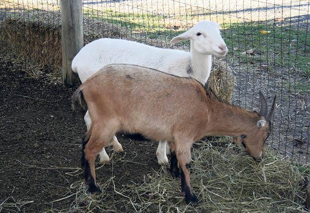 Les éleveurs de chèvres auront bientôt à identifier leurs animaux. Archives / TCN