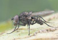 La mouche des semis est l'un des ravageurs à surveiller. Photo : LEDP/MAPAQ