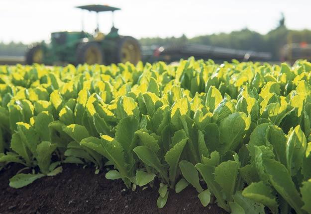 En plus de la culture au champ, Vegpro se dotera de serres pour y cultiver de la laitue à l'année au Québec. Photo : Gracieuseté de Vegpro