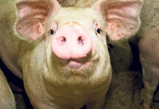 Le phénomène d'entassement des porcs dans les élevages n'est pas nouveau pour les producteurs de la province, qui doivent s'adapter à cette situation depuis plus d'un an et en subir les incidences économiques. Photo : Archives / TCN