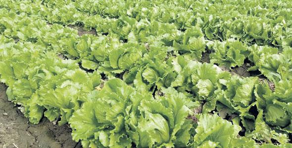 L'utilisation des organismes bénéfiques en production agricole donne une nouvelle façon d'augmenter les rendements sans impact sur l'environnement.