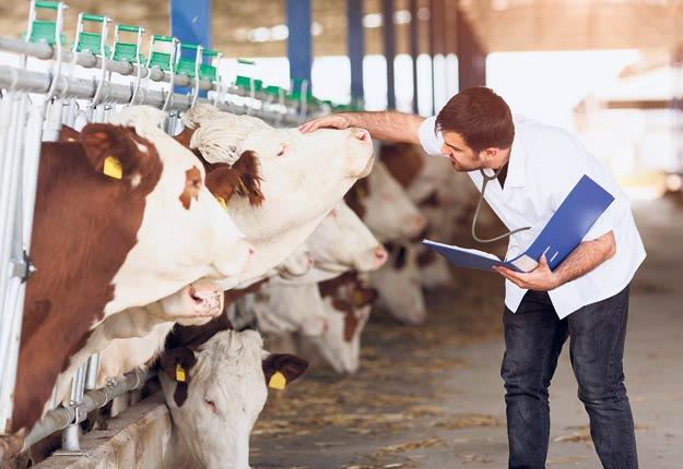 De nombreux facteurs, dont les départs à la retraite et la rétention, contribuent à la pénurie de vétérinaires qui touche autant le secteur des animaux de ferme que celui des animaux de compagnie. Photo : Shutterstock