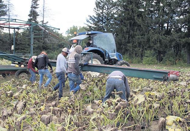 Les travailleurs se dépêchent à vider le champ de courges poivrées, en cette dernière journée de récolte du 21 septembre. Photos : Caroline Morneau/TCN