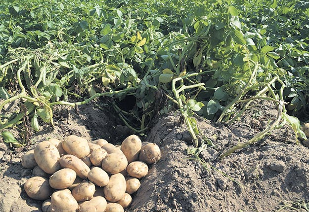 Un aperçu du résultat despommes de terre de cetteannée après un précédentpleine saison demillet (10kg/ha) et de vesce commune (50kg/h). Photos : David Riendeau