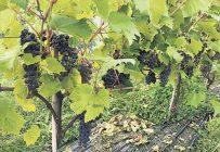 Martin Girouard, du Domaine Girouard de Sutton, se réjouit de la qualité de ses raisins en cette année marquée par une vague de solidarité de la part de ses confrères vignerons. Photos: Gracieuseté de Martin Girouard