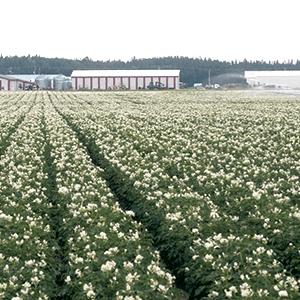 Productions Rivard produit des pommes de terre depuis trois générations.