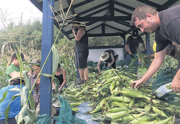 Les volumes de maïs ont été abondants cette année, si bien que Maski récolte n'a pas pu tout récupérer, constate Suzie Paquin, qui croit qu'une meilleure coordination avec les fermes aurait peut-être évité certaines pertes. Photo : Maski récolte