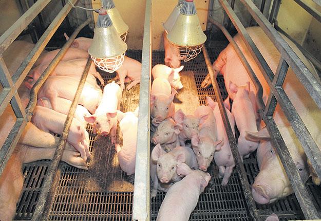 Des projets de recherche pourront être menés au Centre d'insémination porcine du Québec pour améliorer entre autres la collecte et la distribution de semence à travers les maternités du Québec. Photo : Archives/TCN