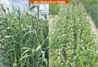 Des plants de sorgho et de sarrasin utilisés comme engrais verts dans les parcelles pédagogiques de l'ITAQ au campus de Saint-Hyacinthe. Photos : Gracieuseté de l'ITAQ