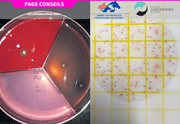 Les systèmes Tri-Plate (gauche) ou Petrifilm (droite) permettent au producteur de sélectionner les vaches qui nécessitent un traitement antibiotique. Photos : Gracieuseté de la Faculté de médecine vétérinaire