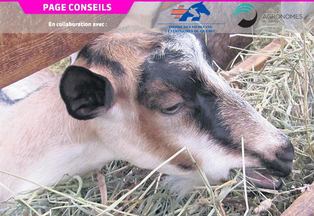 Une bonne ingestion de fourrage est la clé pour un départ en lactation réussi. Photo : Gracieuseté de Caroline Brunelle