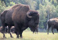 Les bisons, comme les autres grands gibiers, feront partie l'an prochain de la Loi sur le bien-être animal. Photo : Archives/TCN