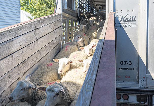 Les 100 agnelles provenant du Manitoba sont arrivées à la Ferme Jocelyn Urbain le 6 octobre. Elles descendent de béliers reproducteurs achetés dans une ferme du Québec, qui se distingue pour la qualité génétique de ses sujets. Photo : Caroline Babin photographe