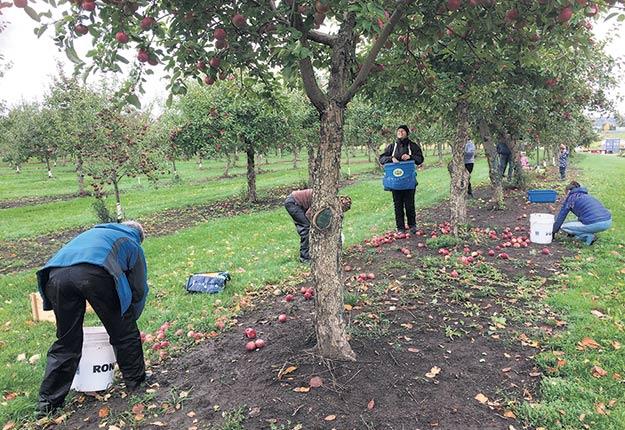 Des glaneurs cueillent les dernières pommes de la saison 2020, au Domaine Hébert de Deschambault-Grondines. Photo : Sylvie Germain