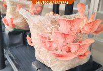 Pleurotes roses en fructification lors des essais conduits à l'ITAQ en 2021. Photo : Institut de technologie agroalimentaire du Québec