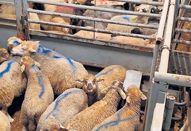 Le propriétaire de l'abattoir Viandes Noiseux, Martin Noiseux, a dû relocaliser en urgence chez un éleveur les animaux qui s'entassaient en trop grande quantité dans ses installations, le 11 octobre. Photo : Gracieuseté de Viandes Noiseux